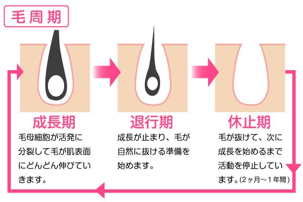 毛周期には成長期・退行期・休止期があります